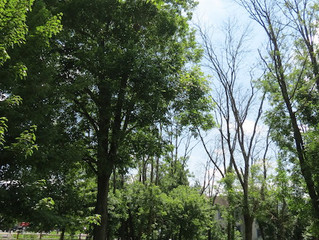 An Emerald Ash Borer Experiment at CVS Park.