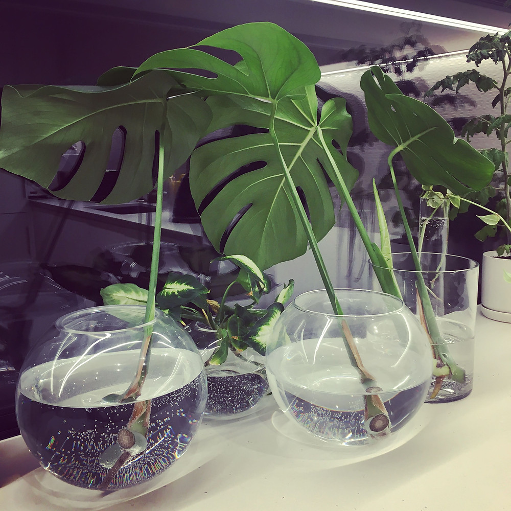 Growing monstera plants