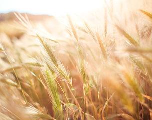 wheat-865098_960_720.jpg