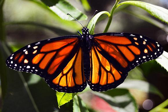 Orange Monarch