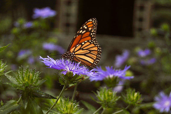 Orange Monarch on Purple Flower