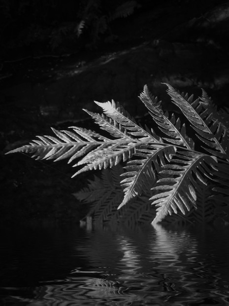 Ferns Reflection