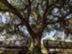 Maplewood_Oak_Tree.jpeg