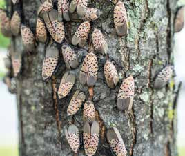 Spotted Lanternflies damaging a tree