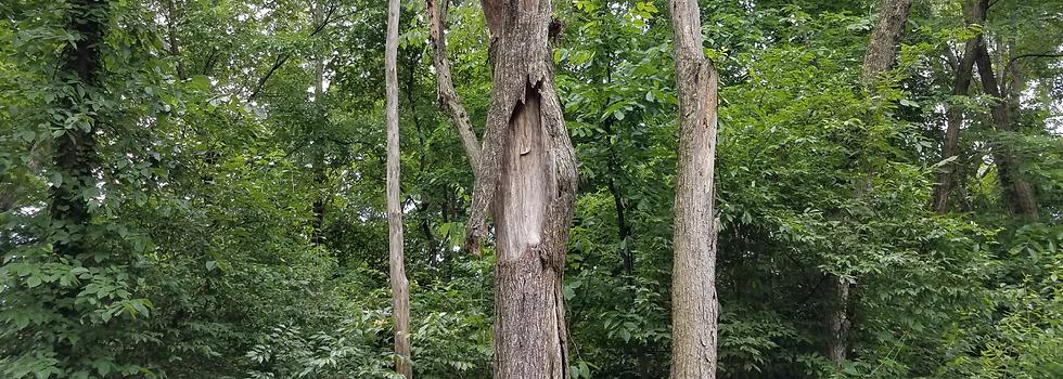Bark-Splitting-On-Tree.png