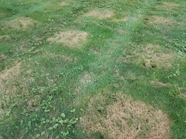 Brown patchy NJ lawn due to summer heat