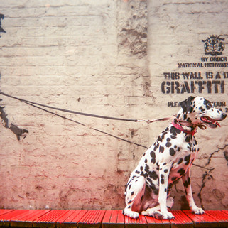 "Banksy's Dalmatian by Saffron Saidi: Cover of 2017 MyLondon calendar and in 2016 exhibition. ""I was ecstatic, I couldn't believe that I'd found another Banksy!"" says Saffron Saidi. She asked the man who was working in the Hoxton bar near the Banksy mural of a policeman with a Poodle to hold the lead of her Dalmatian Dotdot: ""Another Banksy in Southwark also has a dog with a lead. The barman said that apparently Banksy likes dogs."" Saffron moved to London from Falmouth in 1996 and lives in Brixton. ""I've spent most of my life in care. I had a documentary made about me in the '90s called Who Cares Wins."" Saffron got accepted into University of Westminster photography course but had to pull out: ""I was diagnosed with learning disabilities which made the academic writing on the course extremely difficult… but my talent as a photographer was never questioned as I had an unconditional offer."" She goes to Cooltan Arts, describing it as ""a lifeline"". ""It keeps me alive."""