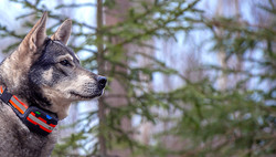 Tracker Artemis på hund