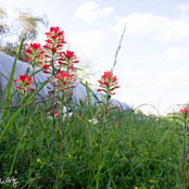 Indian Paint Brush and Hay Bales