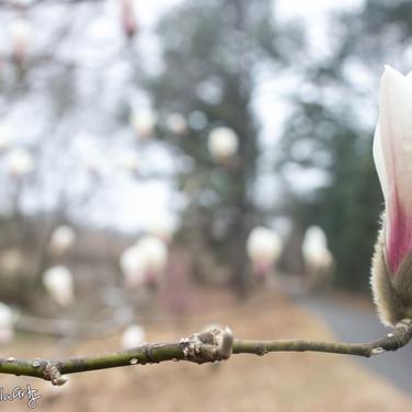 Magnolia Fairies