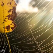 Leaf, Web, Sun