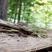 Pine in Debris