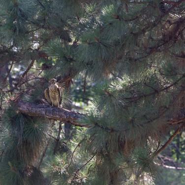 Hawk in Shepherd