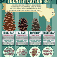 Nacogdoches Pinecone Infographic Poster