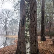 Oak, Pine