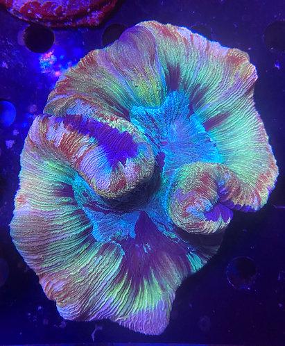"""Green Swirl Open Brain Coral ~ 4""""(Trachyphyllia geoffroyi) WYSIWYG"""