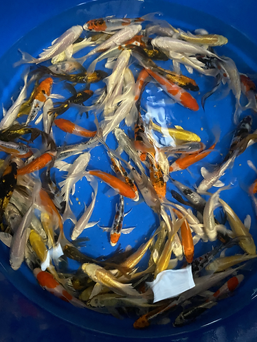 """Butterfly Koi  $100   4""""-6"""" WE DO NOT SHIP OUR KOI"""