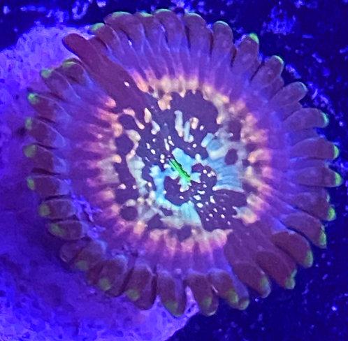 Star Trek Zoanthid Coral 1 polyp