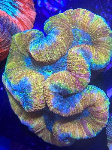 """Golden Open Brain Coral ~3""""-4""""(Trachyphyllia geoffroyi) WYSIWYG"""