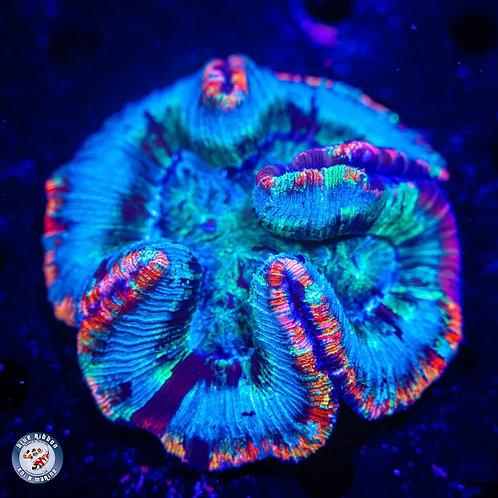 Open Brain Coral (Trachyphyllia geoffroyi) WYSIWYG 1