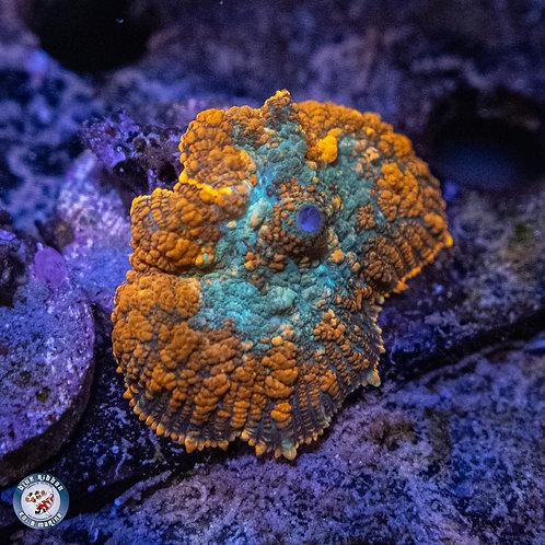 Aqua Man Mushroom