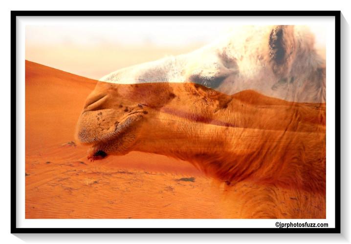 WAHIBA DESERT's CAMEL- Oman