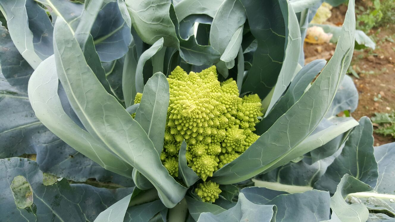 Alien cauliflower!