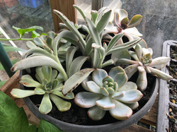 succulents in the greenhose