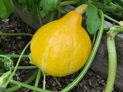 uchiki kuri winter squash (onion squash)