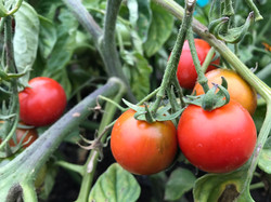 tomatoes tumbler