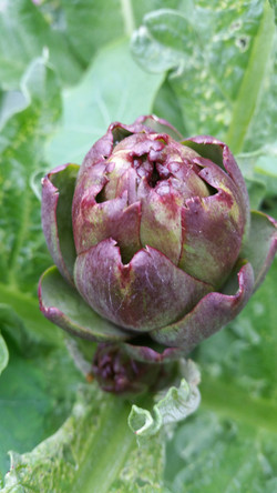 Artichoke flower head