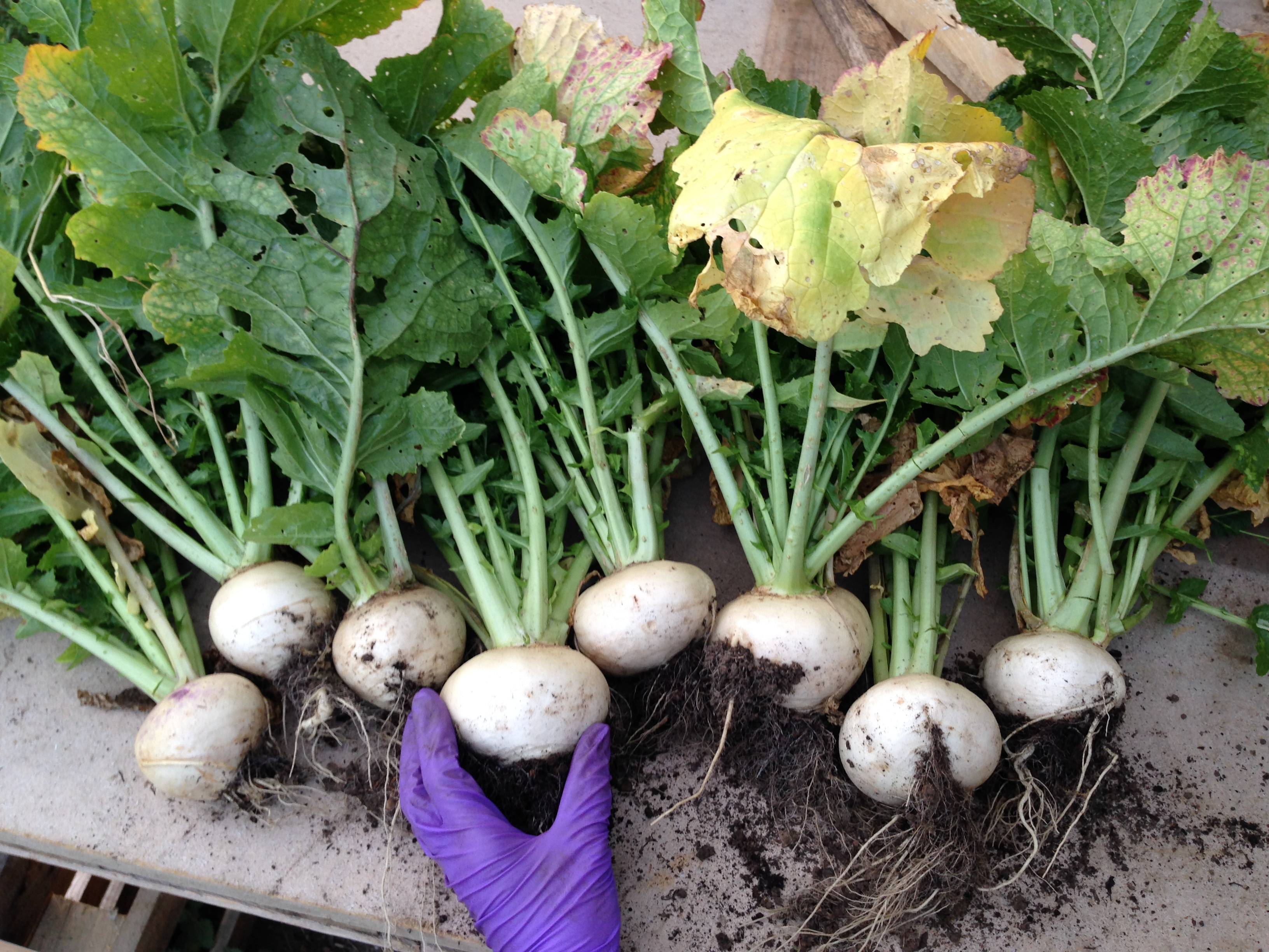 turnip crop