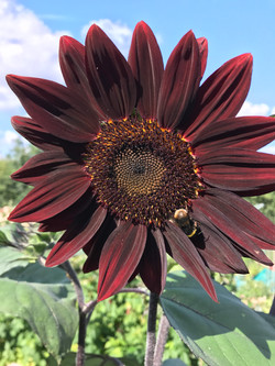 bee on the black sunflower