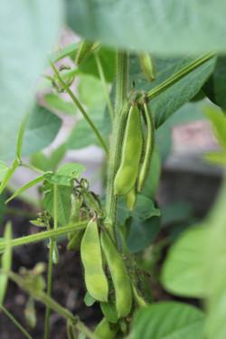 edamame beans (soya)