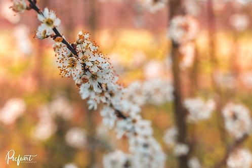 """""""Kirschblüte 1"""" von Picfiart"""