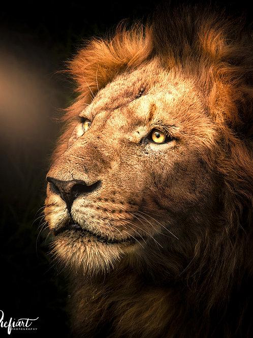 """Lion Porträt"" von Picfiart"