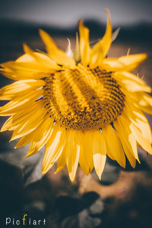 """""""Sunflower"""" von Picfiart"""