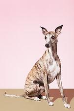 Hond van de Whippet