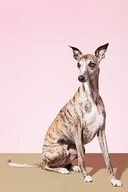 Whippet Dog