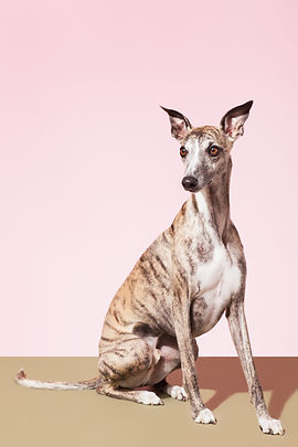 Whippet Pies