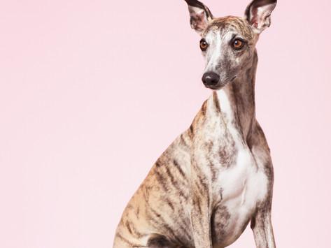 Dobrovolná registrace čipovaného psa