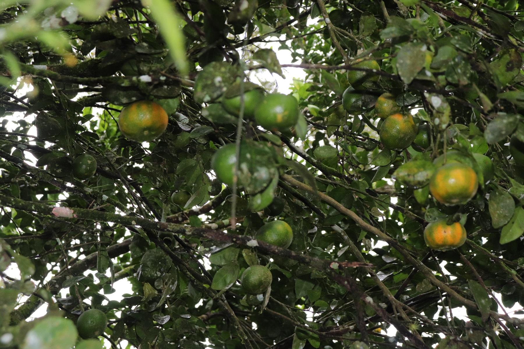 mandarine season