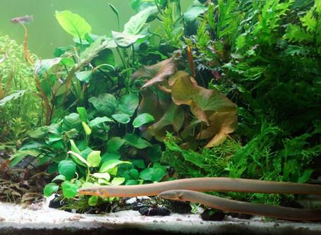 Teen views of the Aquarium Hobby, plus a spotlight on Rope Fish.