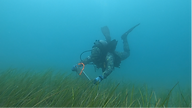 Tom_eelgrass_catharbor.png