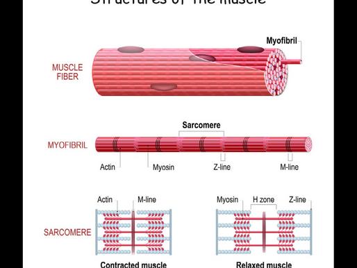 La struttura muscolare
