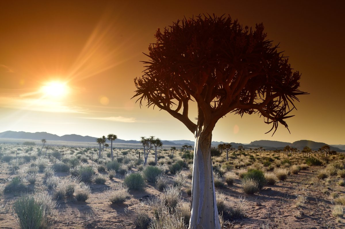 Northern-Cape-Quiver-Tree_-Kokerboom-_83