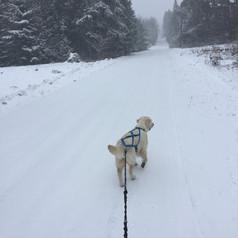 Belle at work Skijoring.jpg