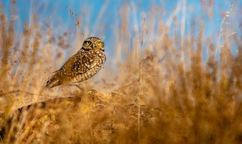 Good Luck Borrowing Owl