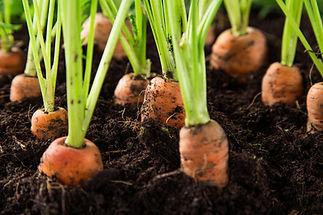 carrott.jpeg