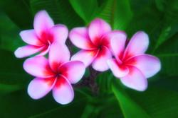 Plumeria-Pink 2